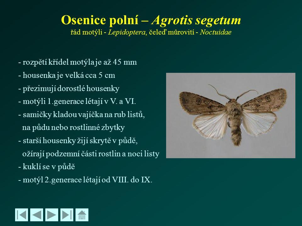 Osenice polní – Agrotis segetum řád motýli - Lepidoptera, čeleď můrovití - Noctuidae