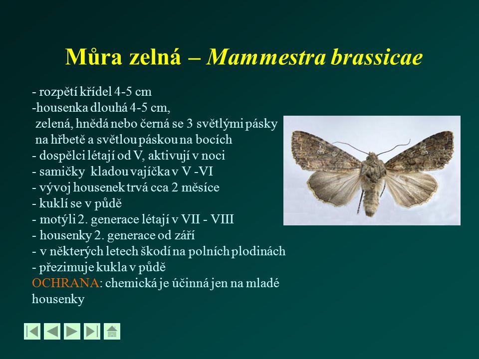 Můra zelná – Mammestra brassicae
