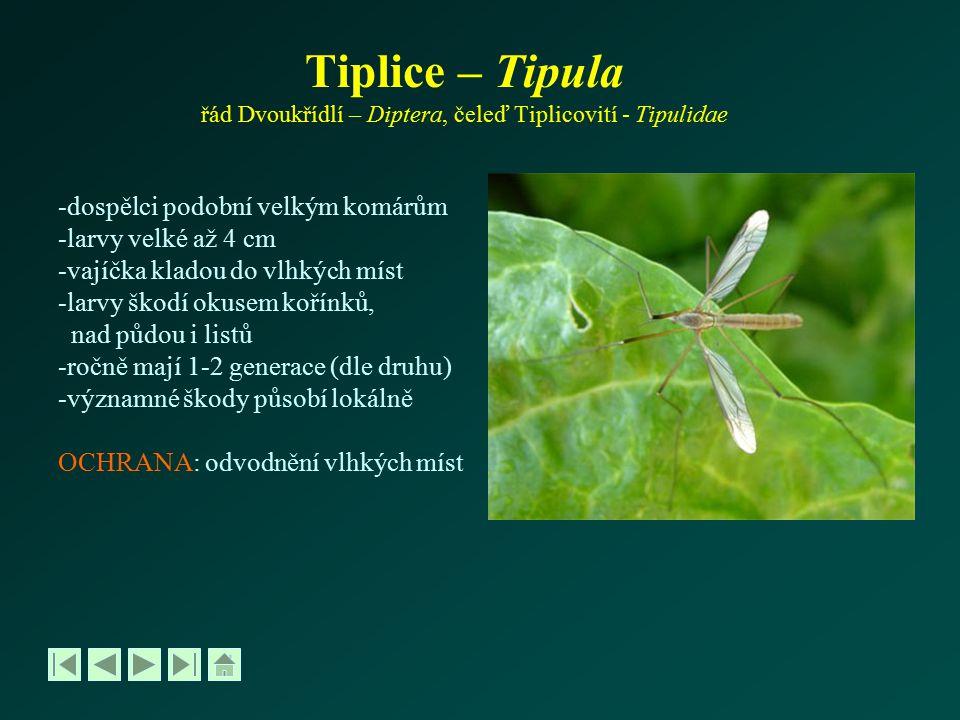 Tiplice – Tipula řád Dvoukřídlí – Diptera, čeleď Tiplicovití - Tipulidae