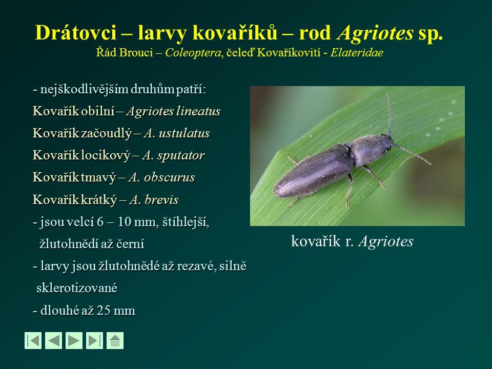 Drátovci – larvy kovaříků – rod Agriotes sp