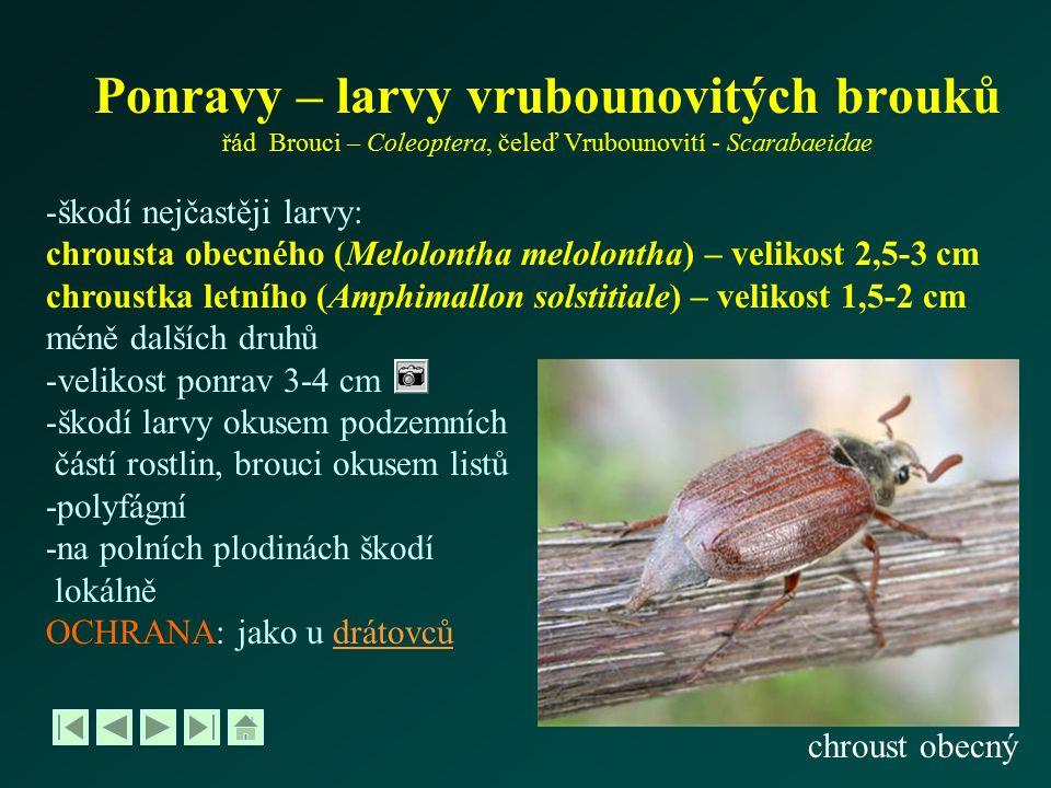 Ponravy – larvy vrubounovitých brouků řád Brouci – Coleoptera, čeleď Vrubounovití - Scarabaeidae