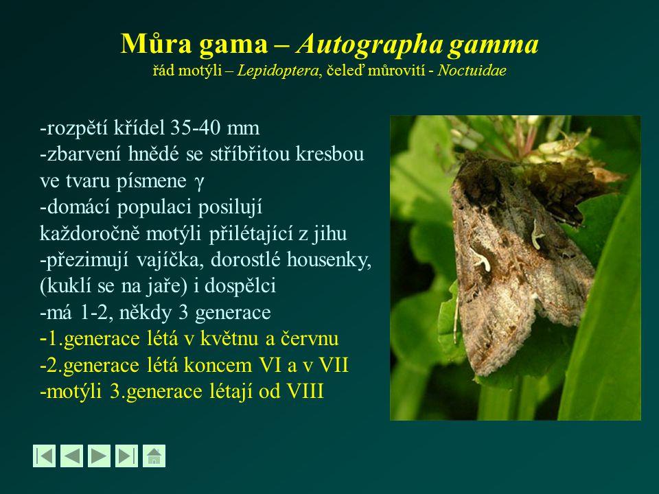 Můra gama – Autographa gamma řád motýli – Lepidoptera, čeleď můrovití - Noctuidae