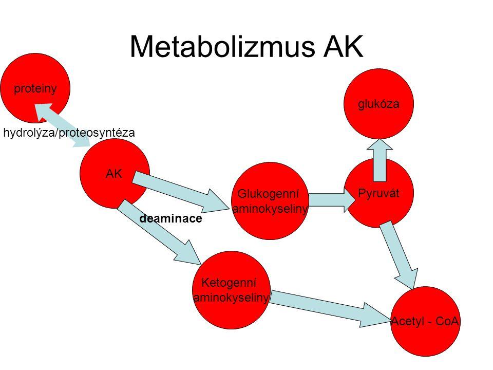 Metabolizmus AK proteiny glukóza hydrolýza/proteosyntéza AK Pyruvát