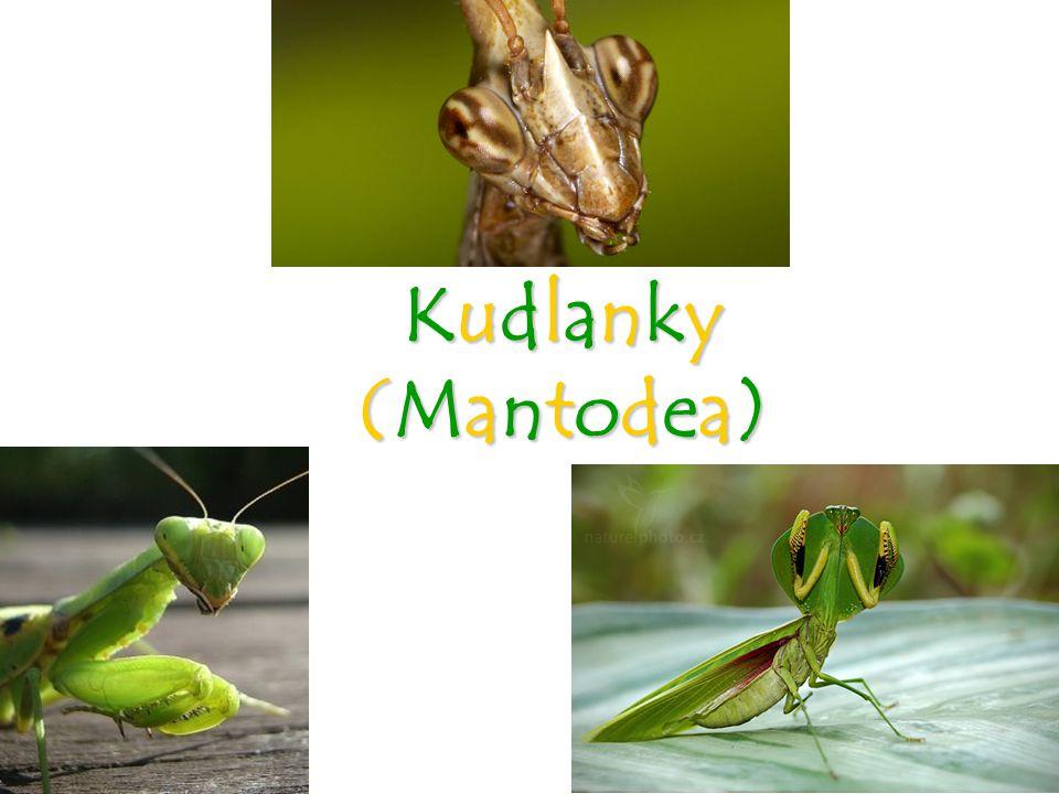 Kudlanky (Mantodea)