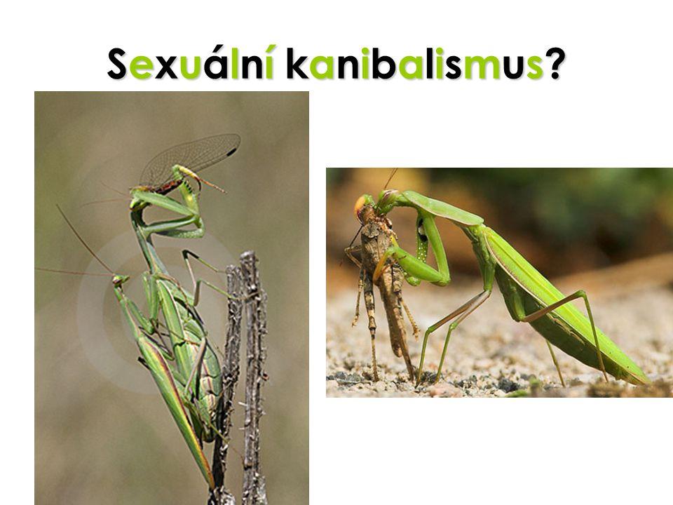 Sexuální kanibalismus