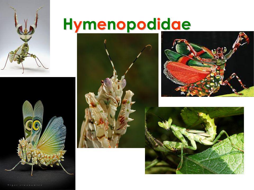 Hymenopodidae
