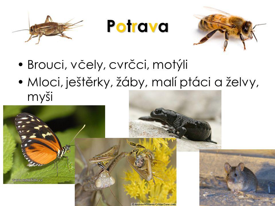 Potrava Brouci, včely, cvrčci, motýli