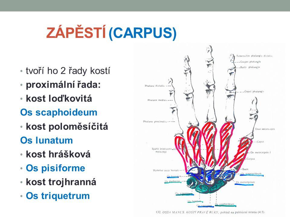 ZÁPĚSTÍ (CARPUS) tvoří ho 2 řady kostí proximální řada: kost loďkovitá