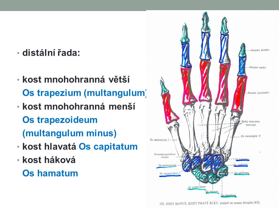 distální řada: kost mnohohranná větší. Os trapezium (multangulum) kost mnohohranná menší. Os trapezoideum.