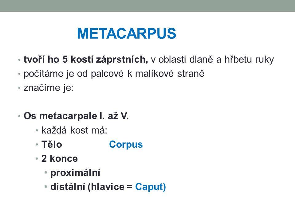 METACARPUS tvoří ho 5 kostí záprstních, v oblasti dlaně a hřbetu ruky