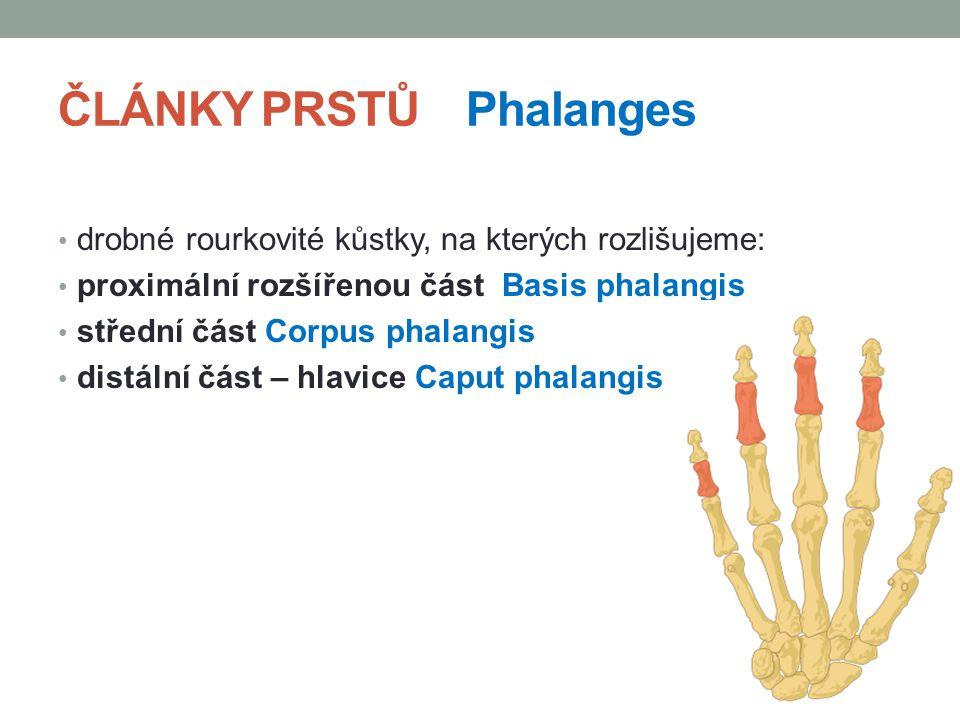ČLÁNKY PRSTŮ Phalanges