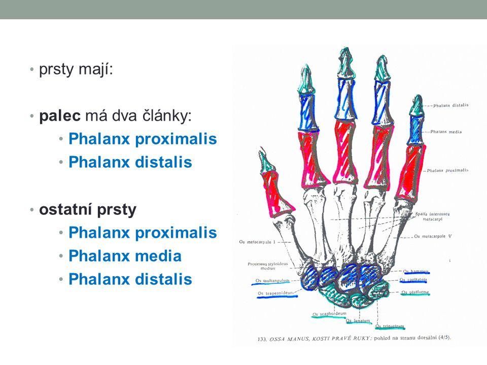 prsty mají: palec má dva články: Phalanx proximalis Phalanx distalis ostatní prsty Phalanx media