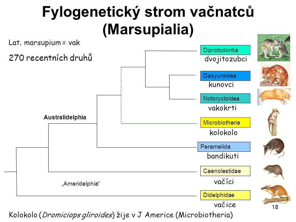 Fylogenetický strom vačnatců (Marsupialia)