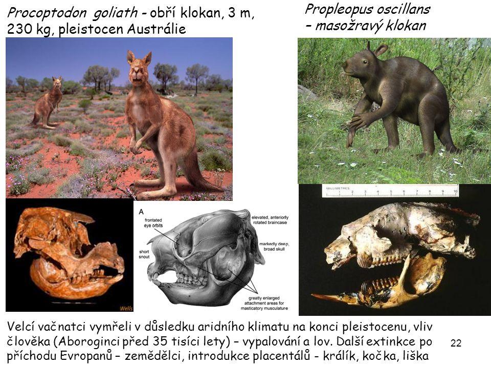 Propleopus oscillans – masožravý klokan
