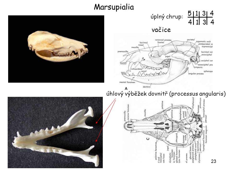 Marsupialia 5 1 3 4 4 1 3 4 vačice úplný chrup: