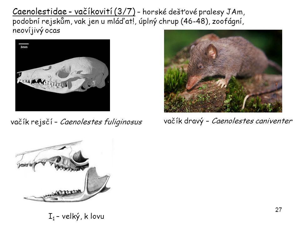 Caenolestidae - vačíkovití (3/7) – horské dešťové pralesy JAm, podobní rejskům, vak jen u mláďat!, úplný chrup (46-48), zoofágní, neovíjivý ocas