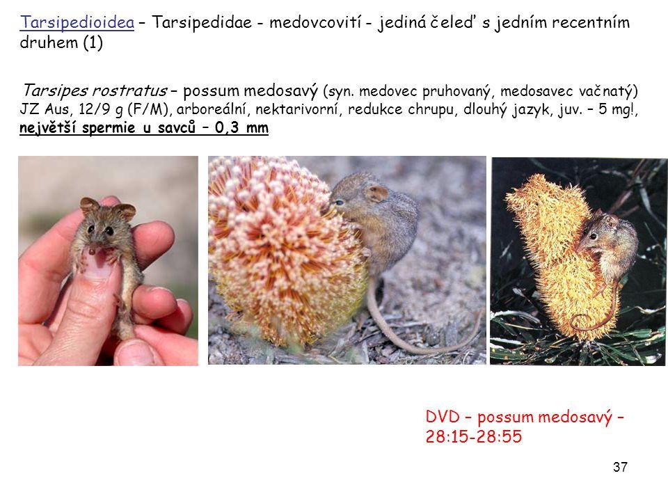 DVD – possum medosavý – 28:15-28:55