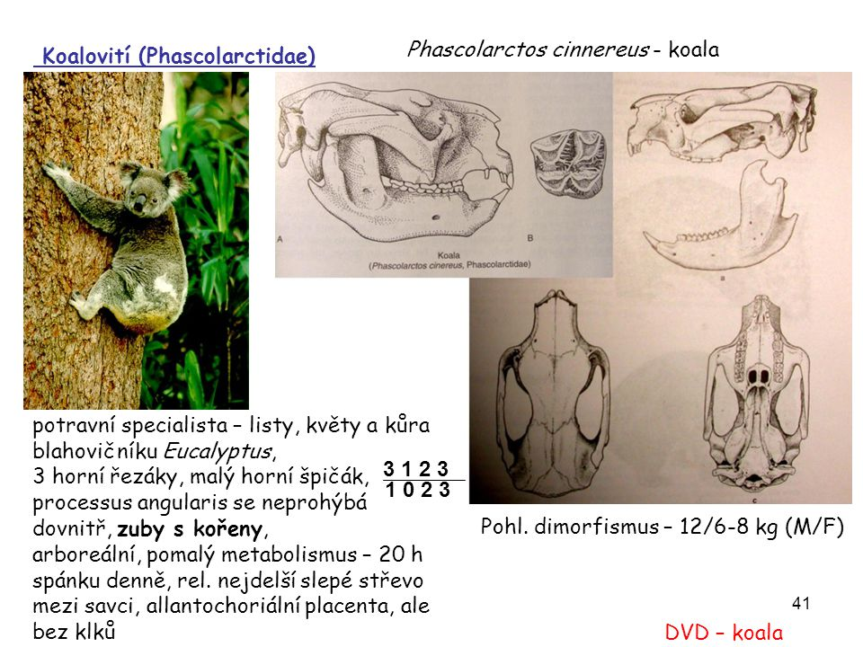 Phascolarctos cinnereus - koala