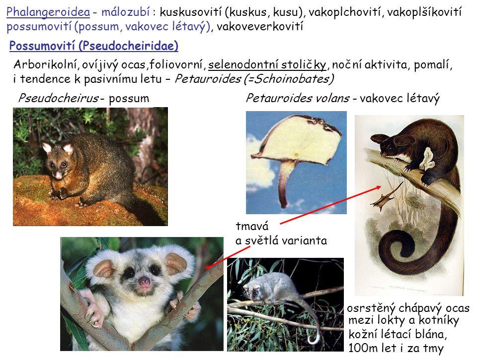 Phalangeroidea - málozubí : kuskusovití (kuskus, kusu), vakoplchovití, vakoplšíkovití possumovití (possum, vakovec létavý), vakoveverkovití