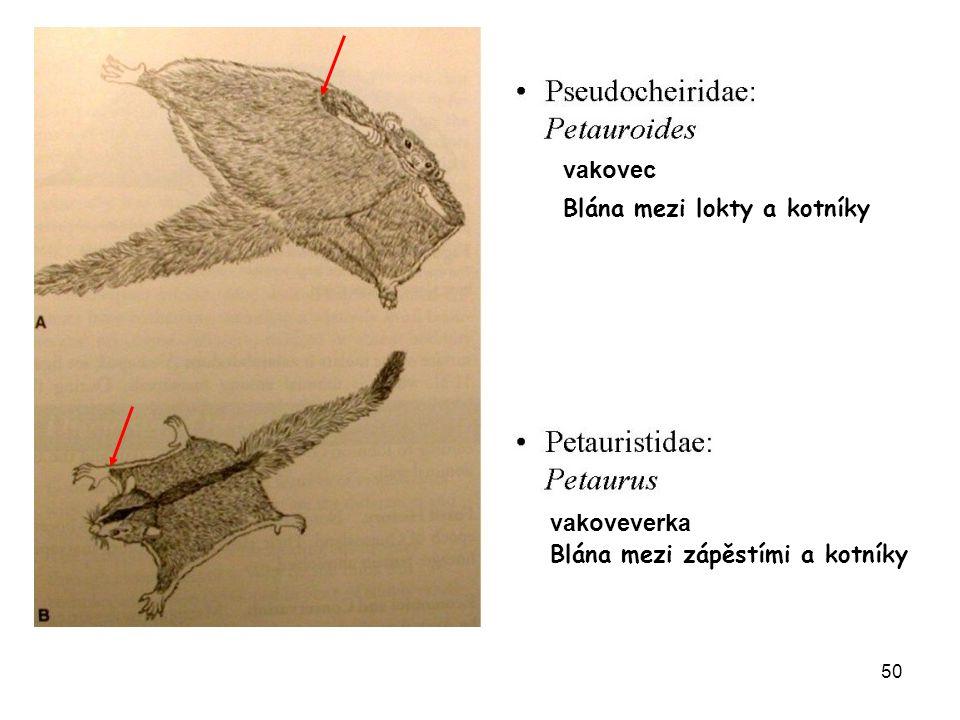 vakovec Blána mezi lokty a kotníky vakoveverka Blána mezi zápěstími a kotníky
