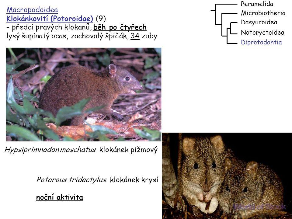 Klokánkovití (Potoroidae) (9) – předci pravých klokanů, běh po čtyřech