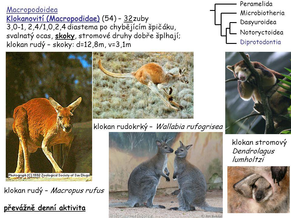 Klokanovití (Macropodidae) (54) – 32zuby
