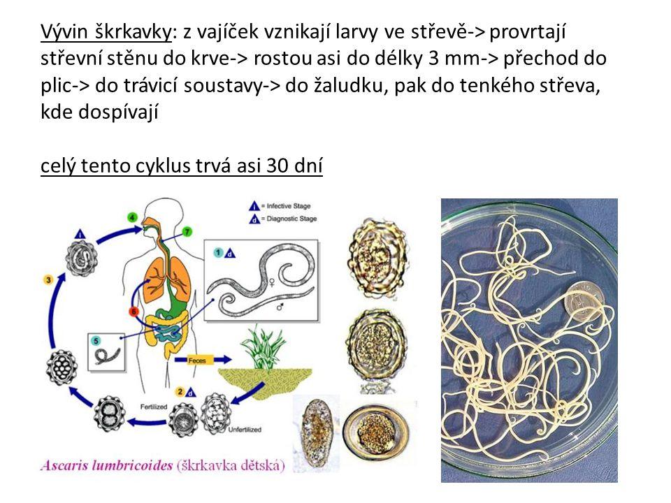 Vývin škrkavky: z vajíček vznikají larvy ve střevě-> provrtají střevní stěnu do krve-> rostou asi do délky 3 mm-> přechod do plic-> do trávicí soustavy-> do žaludku, pak do tenkého střeva, kde dospívají celý tento cyklus trvá asi 30 dní
