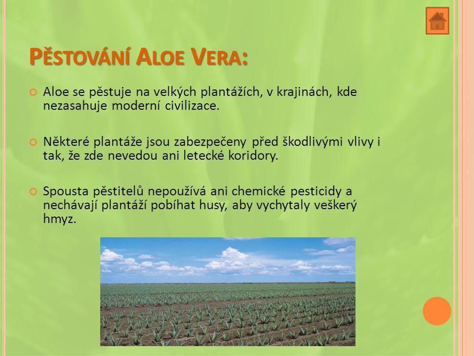 Pěstování Aloe Vera: Aloe se pěstuje na velkých plantážích, v krajinách, kde nezasahuje moderní civilizace.