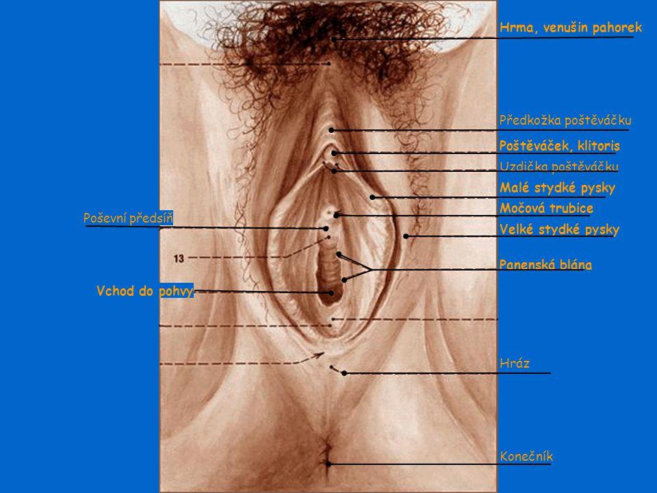 Hrma, venušin pahorek Poštěváček, klitoris. Malé stydké pysky. Močová trubice. Velké stydké pysky.
