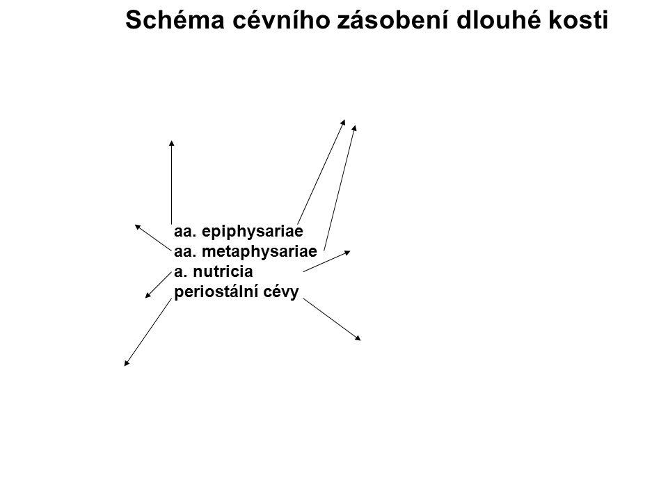 Schéma cévního zásobení dlouhé kosti