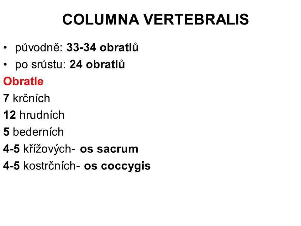 COLUMNA VERTEBRALIS původně: 33-34 obratlů po srůstu: 24 obratlů
