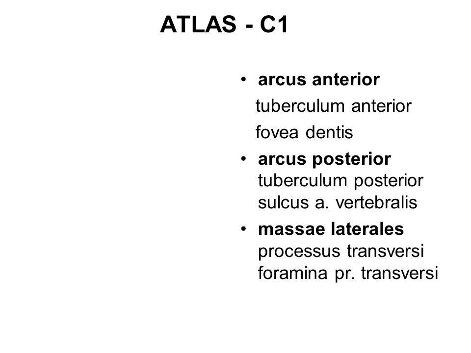 ATLAS - C1 arcus anterior tuberculum anterior fovea dentis