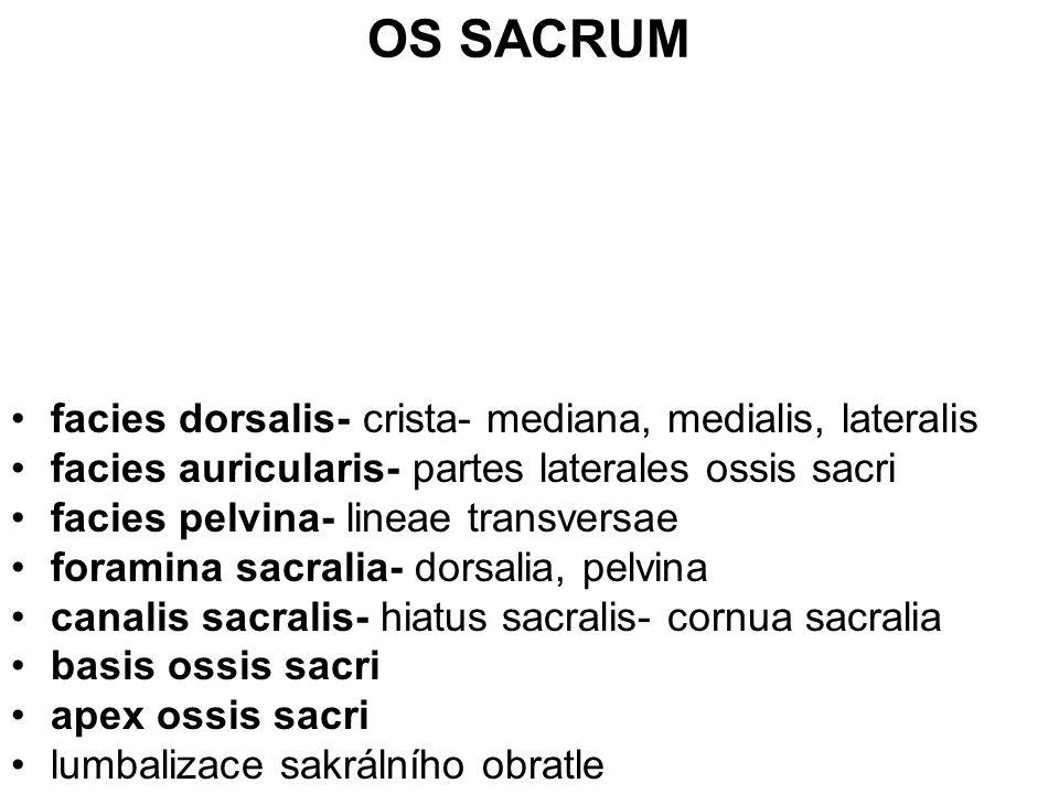OS SACRUM facies dorsalis- crista- mediana, medialis, lateralis