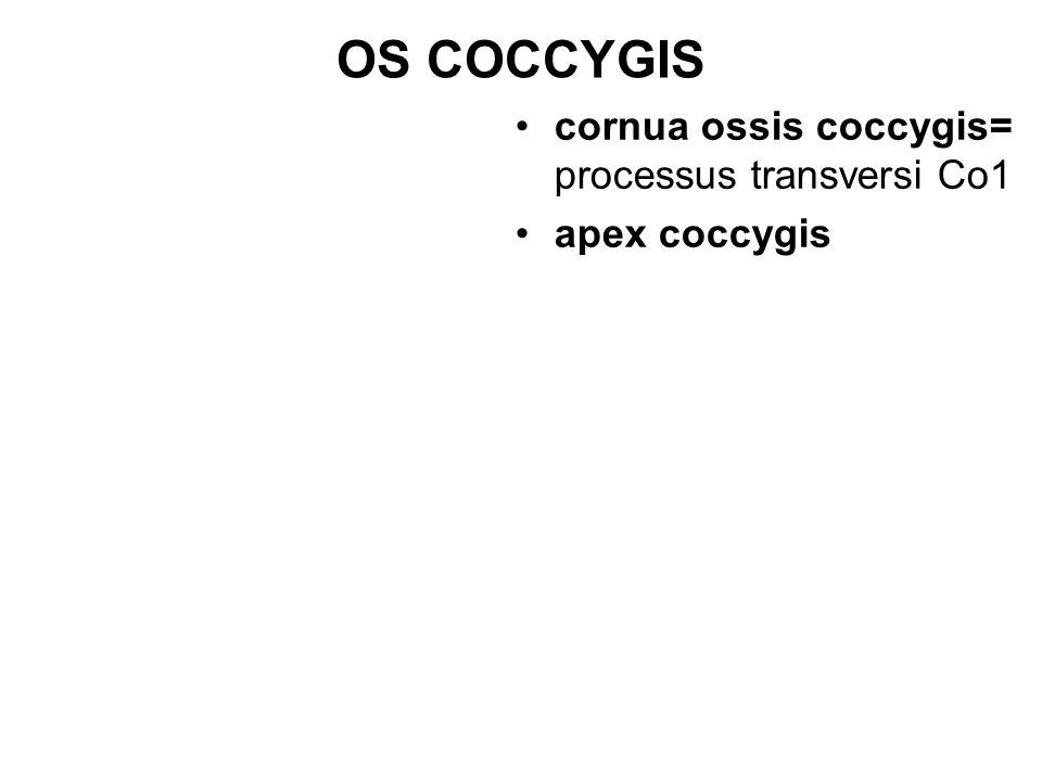 OS COCCYGIS cornua ossis coccygis= processus transversi Co1