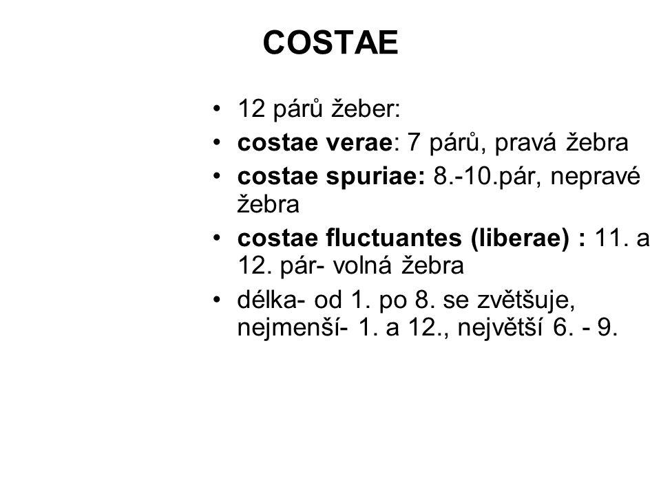 COSTAE 12 párů žeber: costae verae: 7 párů, pravá žebra