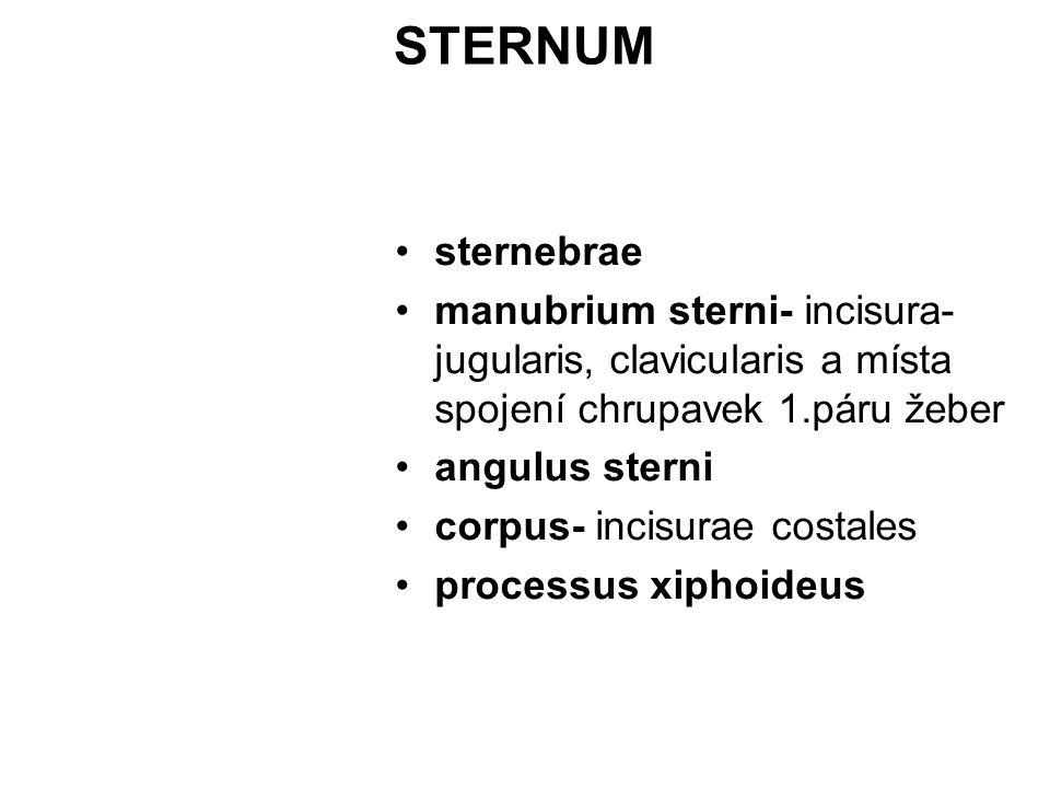STERNUM sternebrae. manubrium sterni- incisura- jugularis, clavicularis a místa spojení chrupavek 1.páru žeber.