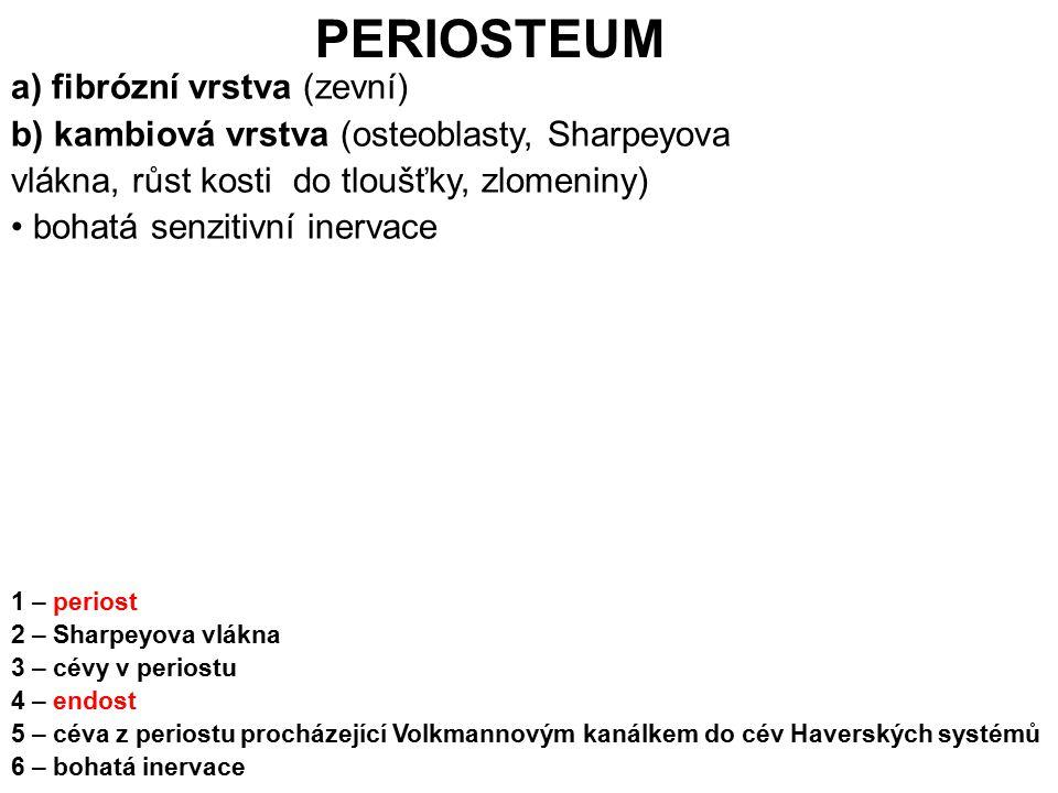 PERIOSTEUM a) fibrózní vrstva (zevní)