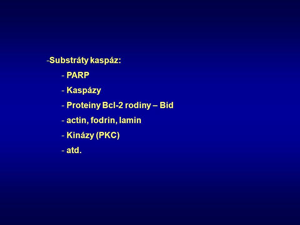 Substráty kaspáz: PARP Kaspázy Proteiny Bcl-2 rodiny – Bid actin, fodrin, lamin Kinázy (PKC) atd.
