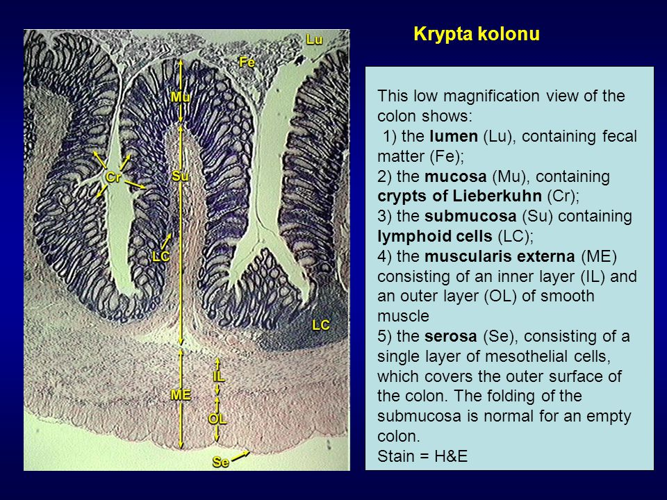 Krypta kolonu This low magnification view of the colon shows: