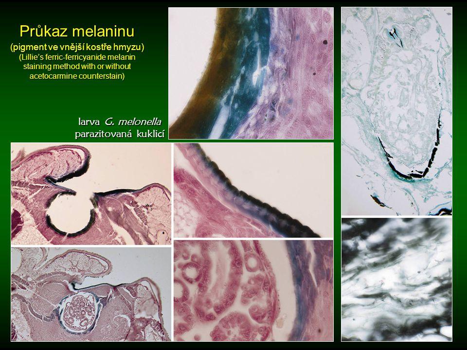 Průkaz melaninu (pigment ve vnější kostře hmyzu)