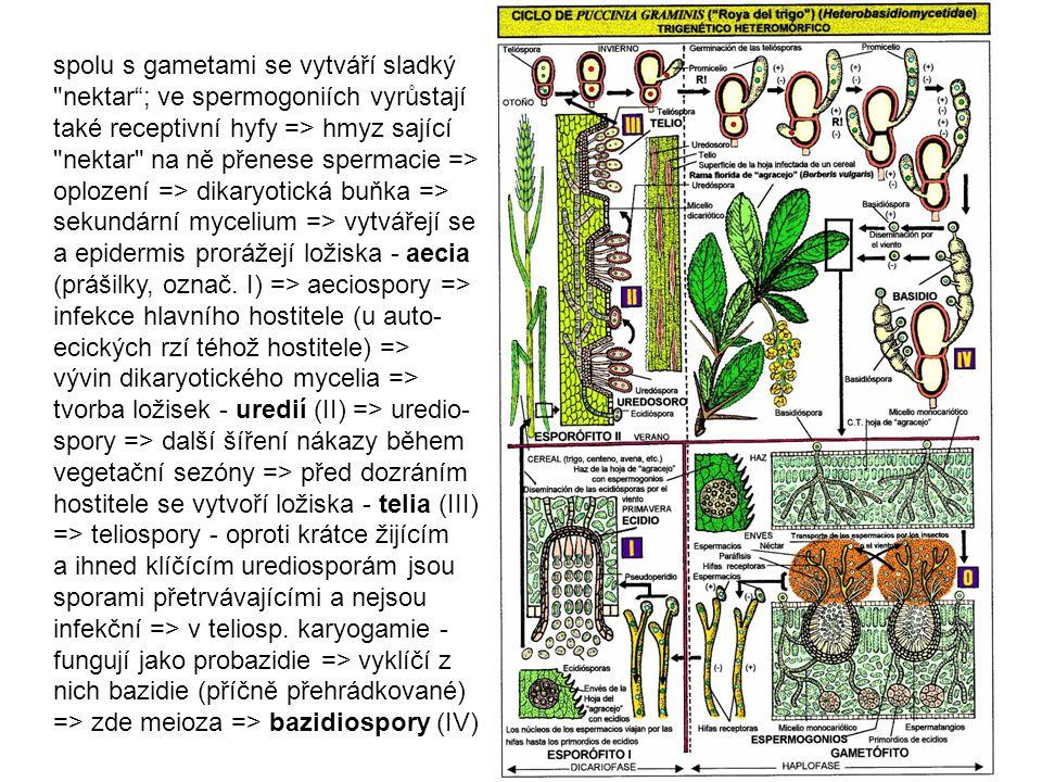 spolu s gametami se vytváří sladký nektar ; ve spermogoniích vyrůstají také receptivní hyfy => hmyz sající nektar na ně přenese spermacie => oplození => dikaryotická buňka => sekundární mycelium => vytvářejí se a epidermis prorážejí ložiska - aecia (prášilky, označ. I) => aeciospory => infekce hlavního hostitele (u auto-ecických rzí téhož hostitele) => vývin dikaryotického mycelia => tvorba ložisek - uredií (II) => uredio-spory => další šíření nákazy během vegetační sezóny => před dozráním hostitele se vytvoří ložiska - telia (III) => teliospory - oproti krátce žijícím a ihned klíčícím urediosporám jsou sporami přetrvávajícími a nejsou infekční => v teliosp.