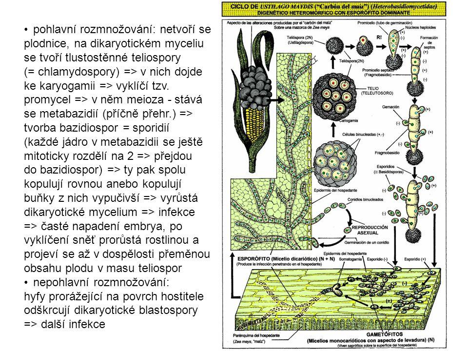 • pohlavní rozmnožování: netvoří se plodnice, na dikaryotickém myceliu se tvoří tlustostěnné teliospory (= chlamydospory) => v nich dojde ke karyogamii => vyklíčí tzv.