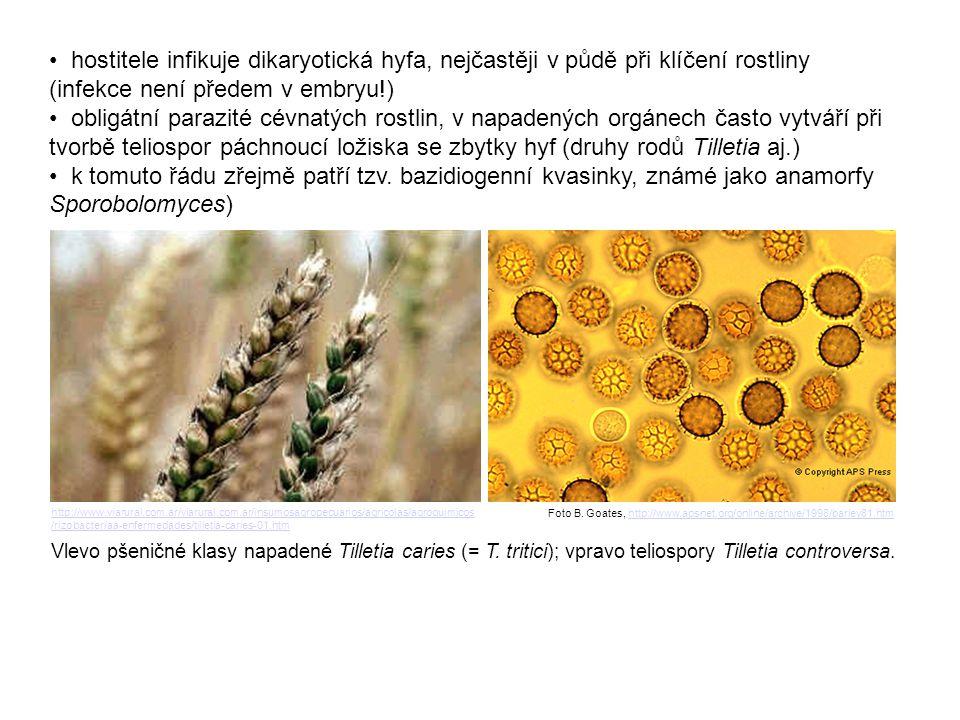• hostitele infikuje dikaryotická hyfa, nejčastěji v půdě při klíčení rostliny (infekce není předem v embryu!)
