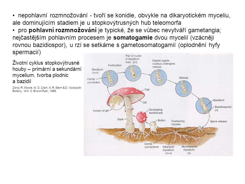 • nepohlavní rozmnožování - tvoří se konidie, obvykle na dikaryotickém myceliu, ale dominujícím stadiem je u stopkovýtrusných hub teleomorfa • pro pohlavní rozmnožování je typické, že se vůbec nevytváří gametangia; nejčastějším pohlavním procesem je somatogamie dvou mycelií (vzácněji rovnou bazidiospor), u rzí se setkáme s gametosomatogamií (oplodnění hyfy spermacií)