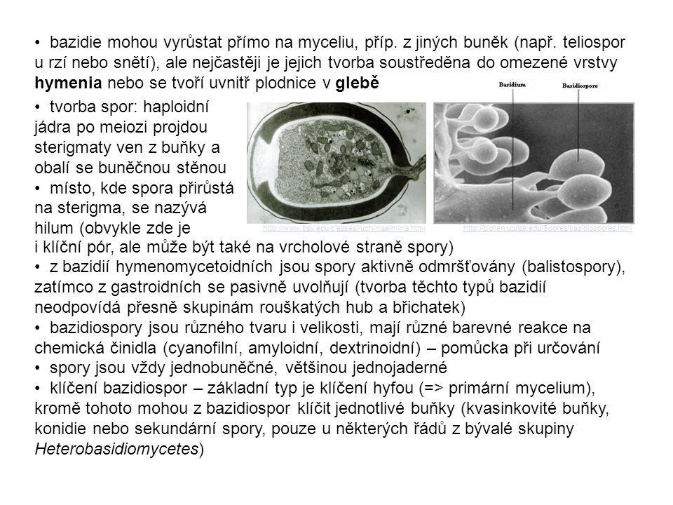 • bazidie mohou vyrůstat přímo na myceliu, příp. z jiných buněk (např