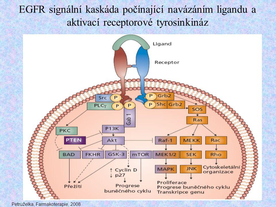 EGFR signální kaskáda počínající navázáním ligandu a aktivací receptorové tyrosinkináz