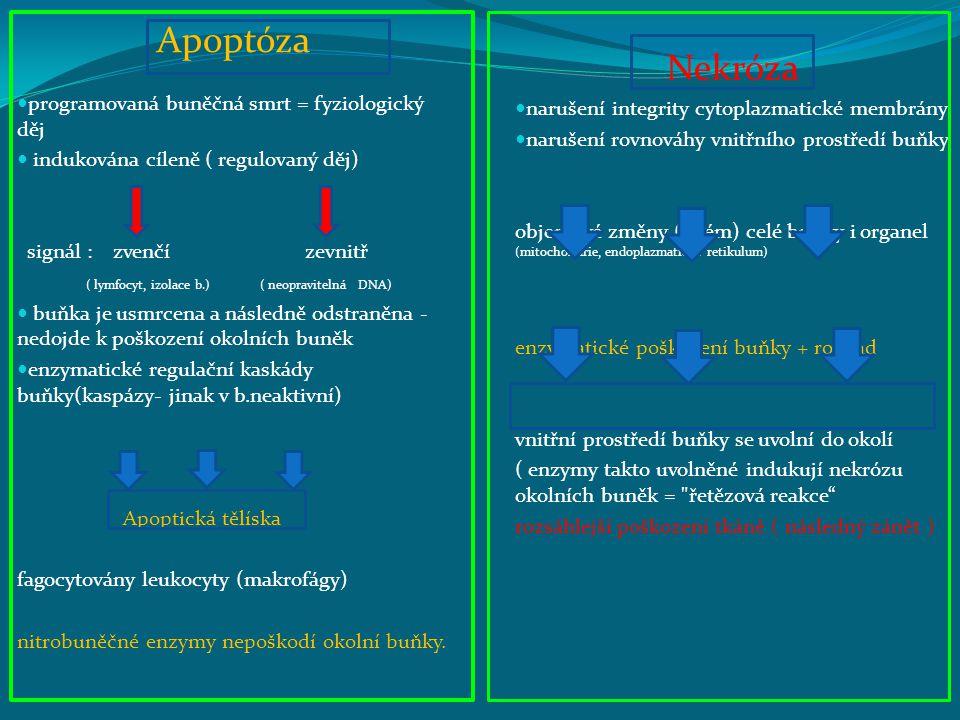 Apoptóza Nekróza programovaná buněčná smrt = fyziologický děj