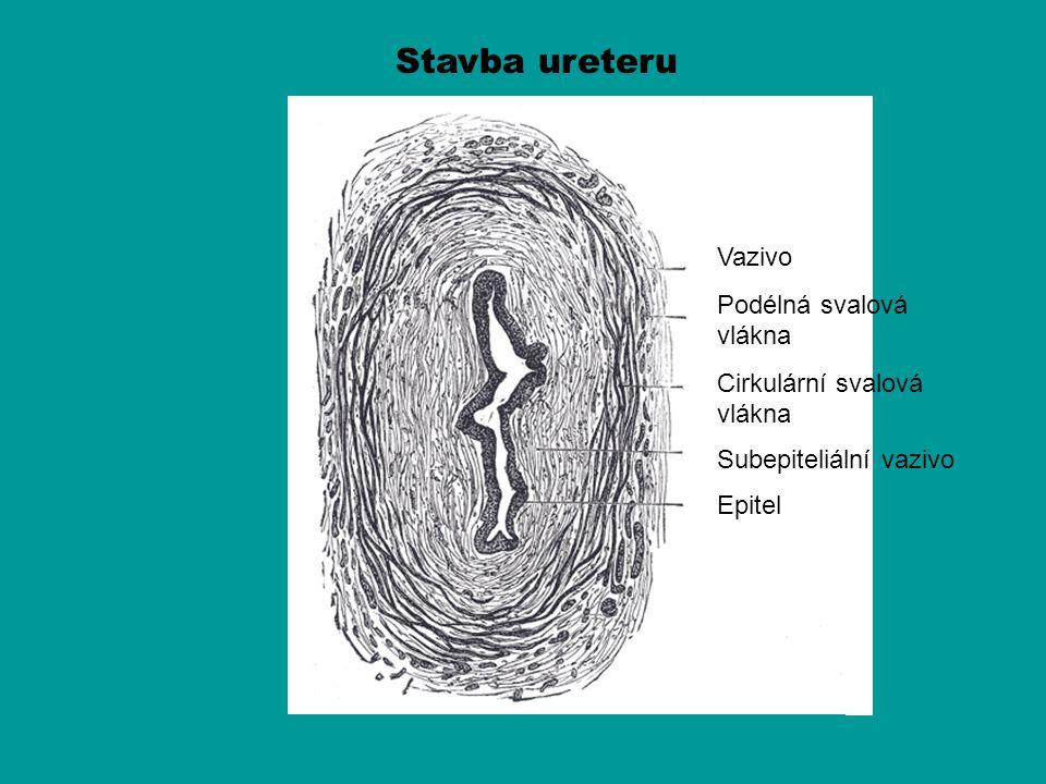 Stavba ureteru Vazivo Podélná svalová vlákna Cirkulární svalová vlákna