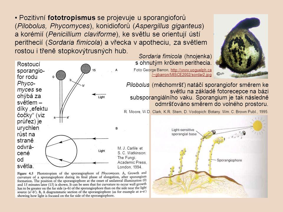 • Pozitivní fototropismus se projevuje u sporangioforů (Pilobolus, Phycomyces), konidioforů (Aspergillus giganteus) a korémií (Penicillium claviforme), ke světlu se orientují ústí perithecií (Sordaria fimicola) a vřecka v apotheciu, za světlem rostou i třeně stopkovýtrusných hub.