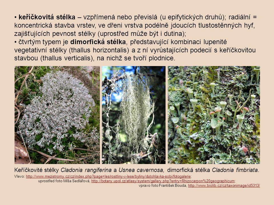 • keříčkovitá stélka – vzpřímená nebo převislá (u epifytických druhů); radiální = koncentrická stavba vrstev, ve dřeni vrstva podélně jdoucích tlustostěnných hyf, zajišťujících pevnost stélky (uprostřed může být i dutina); • čtvrtým typem je dimorfická stélka, představující kombinaci lupenité vegetativní stélky (thallus horizontalis) a z ní vyrůstajících podecií s keříčkovitou stavbou (thallus verticalis), na nichž se tvoří plodnice.